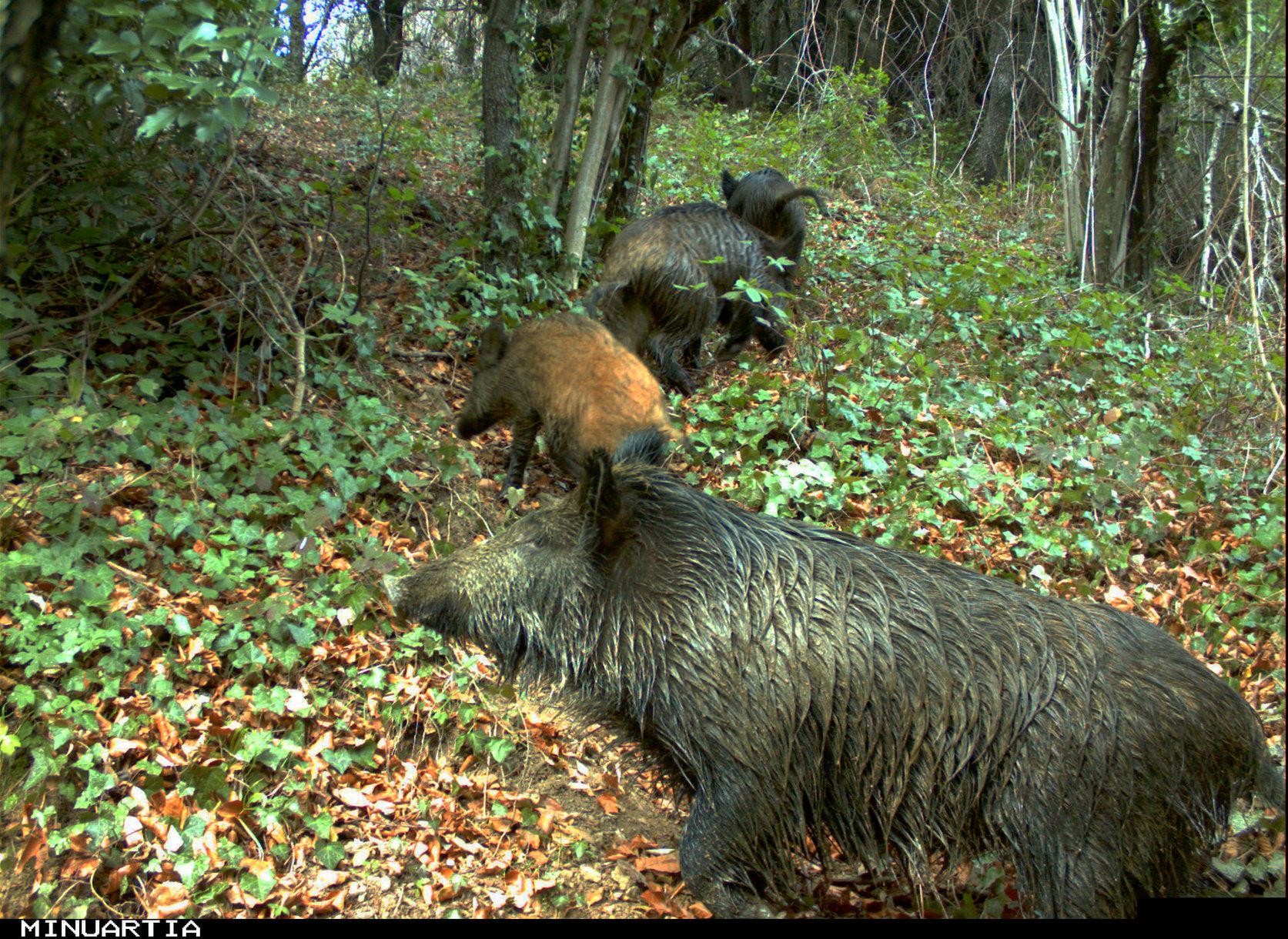 Un grup de senglars al bosc
