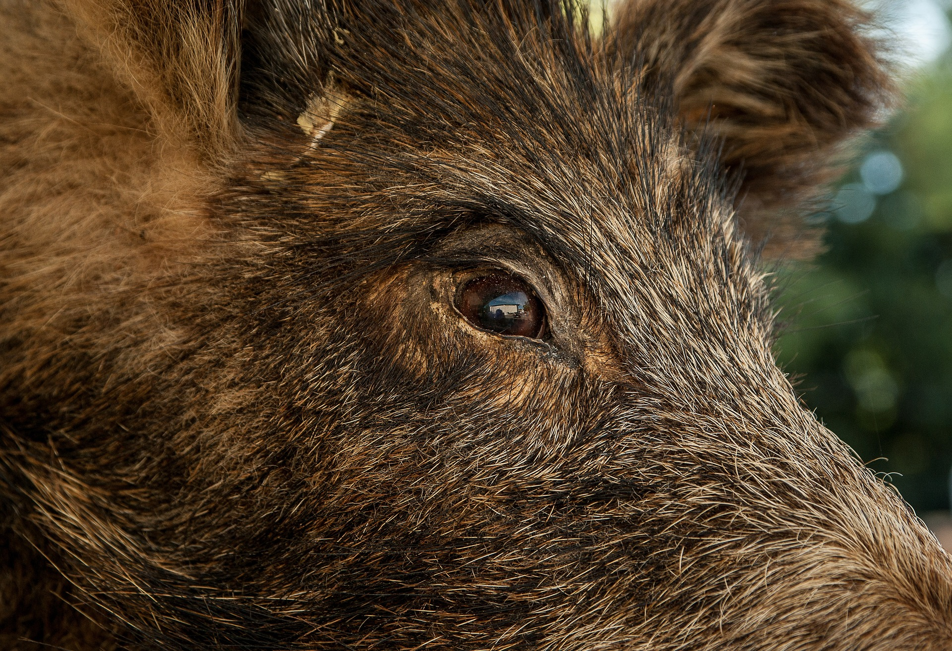 El senglar ha envestit el caçador quan aquest l'havia acorralat