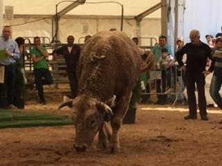 El toro guanyador