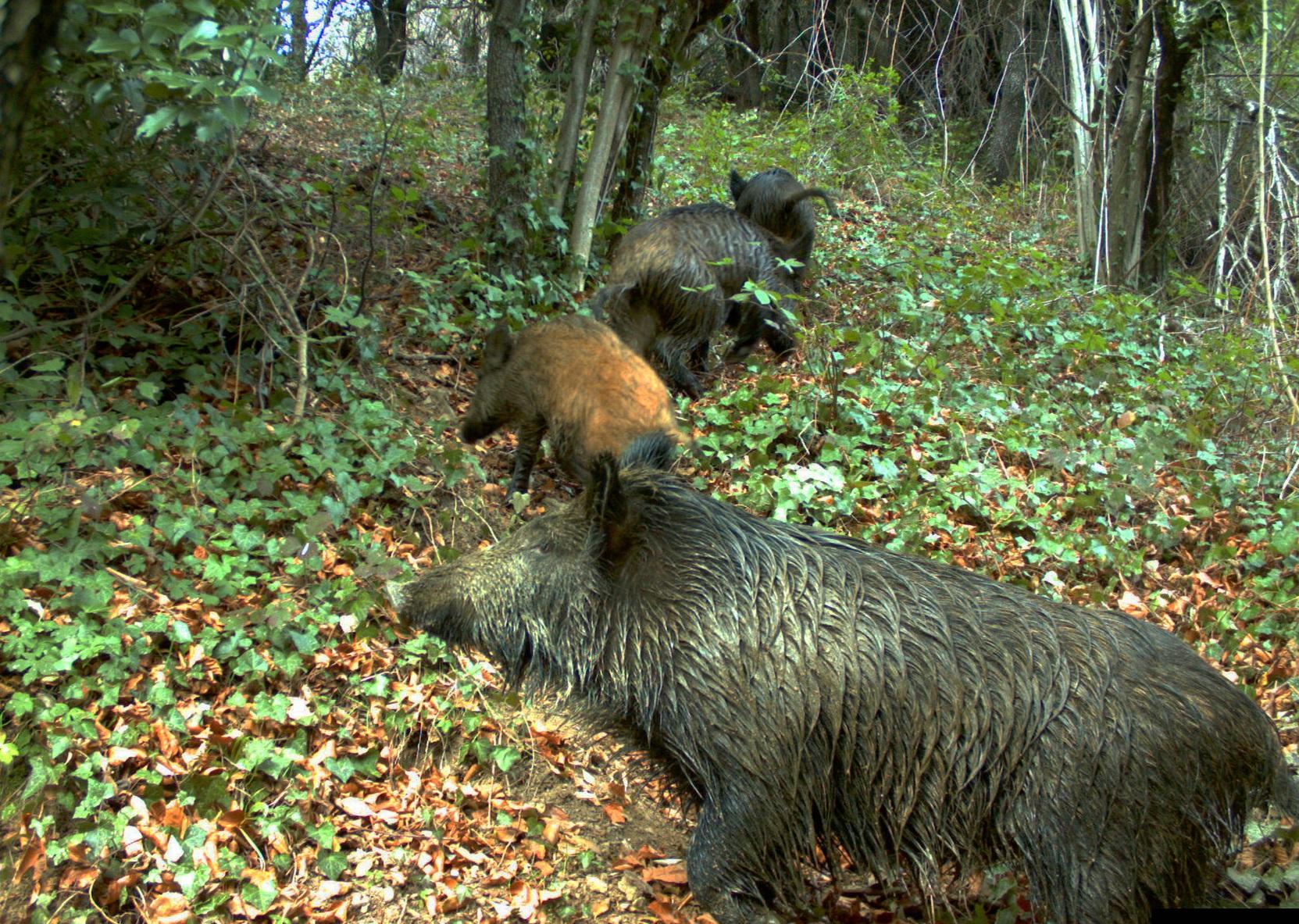 L'alt nombre de senglars al Montseny ha causat algun incident a les carreteres de la zona