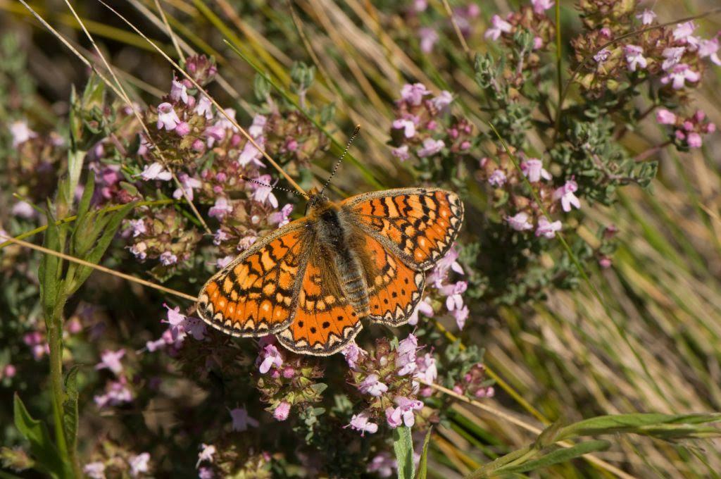 El projecte de seguiment de papallones és una de les iniciatives del Museu de Ciències Naturals de Granollers
