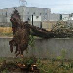 L'arbre ha caigut sense provocar danys personals ni materials