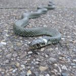 La serp va resultar ser una colobra inofensiva