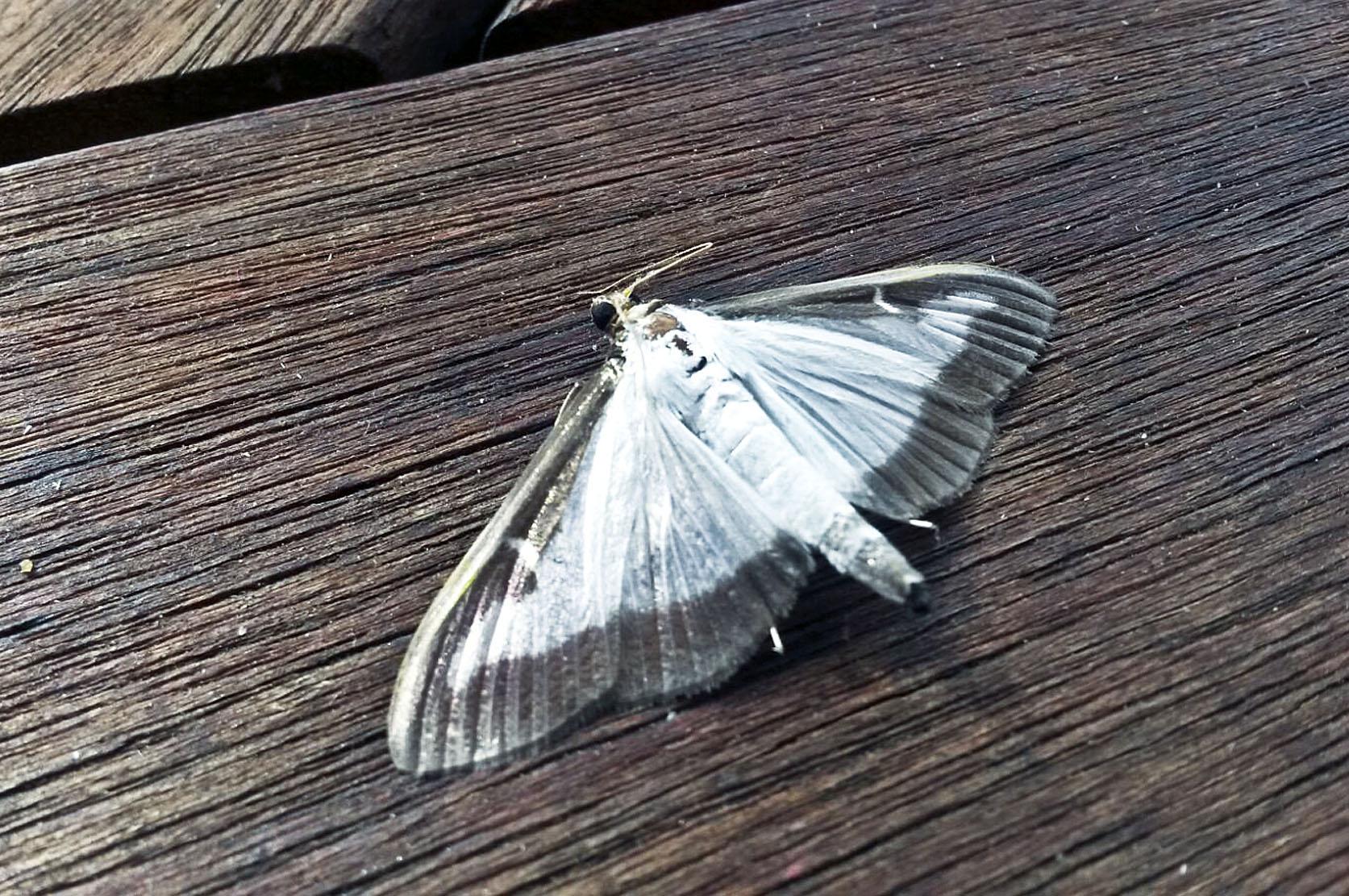 Un exemplar de la papallona que surt de l'eruga que ataca el boix