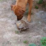 Una imatge de la tortuga d'aquesta veïna de Montseny