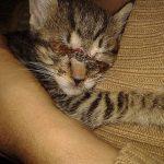 El gat trobat amb diverses ferides