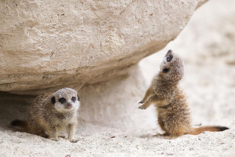 New arrivals at Dublin Zoo: Meerkat pups