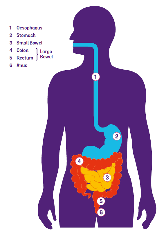 Labelled image of the gut (digestive system)