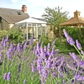 the cottage conservatory & my lavender