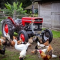 some of our chickens & Mike's vintage tractor