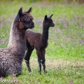 2 of the alpacas