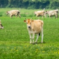 storks & cows a common sight