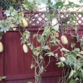 Have you ever seen a Squash tree?