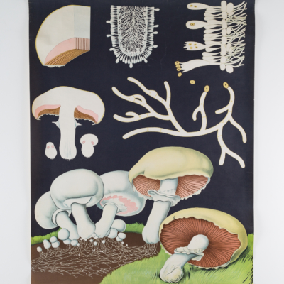 dr. jung, koch & quentell. chalk board style pull down chart of mushroom, published and printed by Hagemann. 1963.