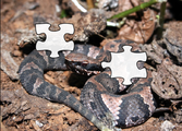Cottonmouth Jigsaw Puzzle