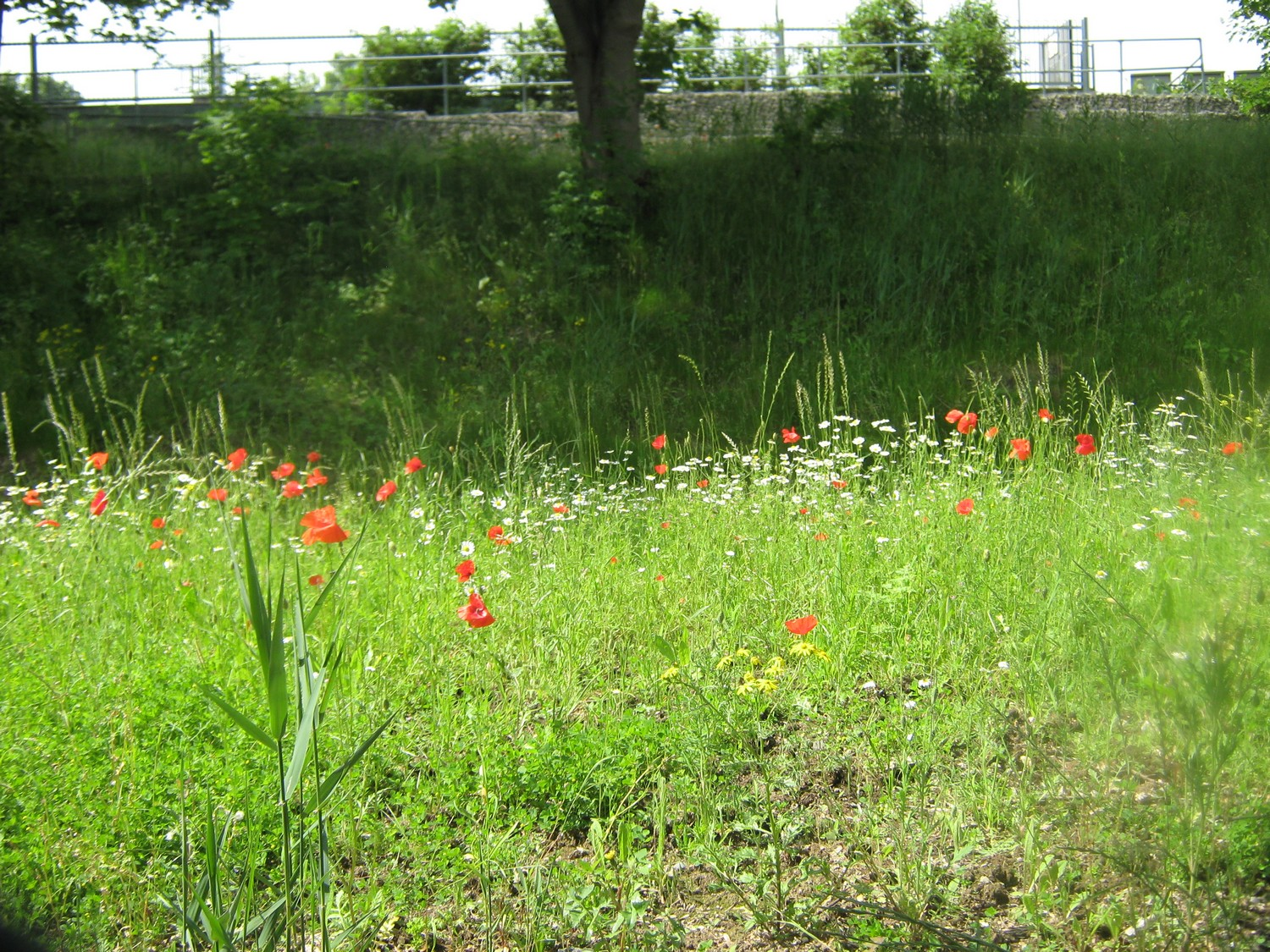 Hither Green _Meadow1
