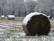 Hay in Snow