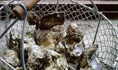 Beignets d'huîtres chaudes