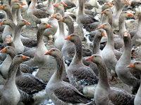 Le foie gras qu 39 est ce que le foie gras - Couette oie ou canard ...