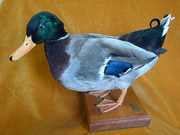 Mallard Drake Taxidermy