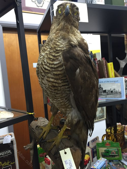 Vintage taxidermy goshawk