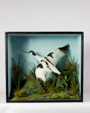 Taxidermy Avocet