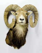 Taxidermy Mouflon Sheep