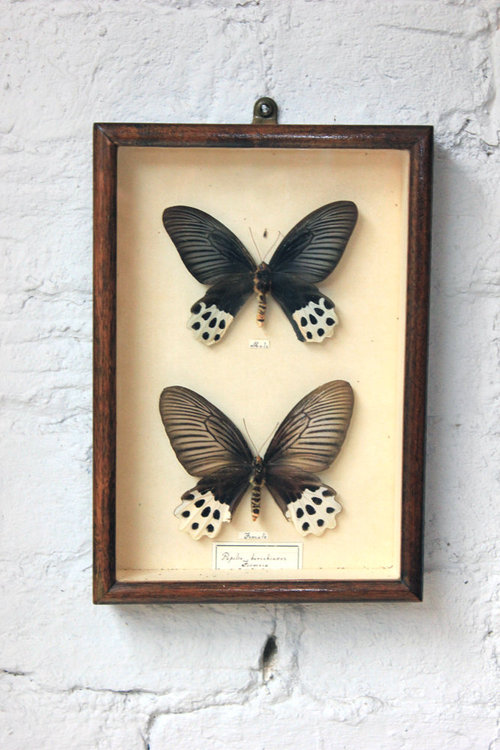 Pair of Cased Papilio Horishanus Butterflies