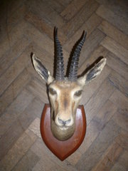 VINTAGE 1930S TAXIDERMY HEAD