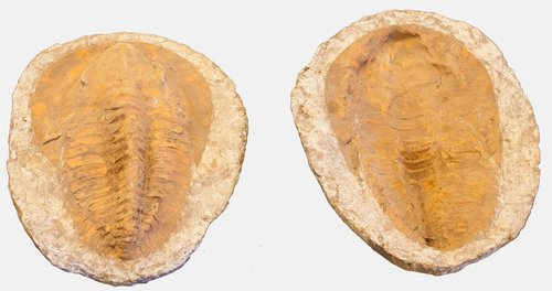 Large Complete Trilobite Fossil