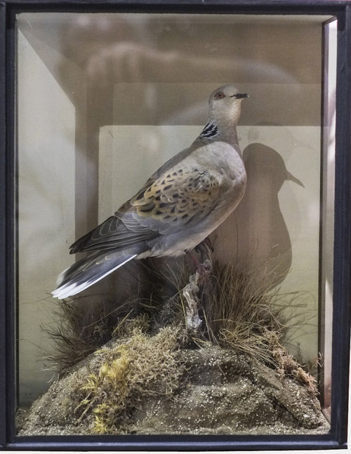 Taxidermy Turtle Dove