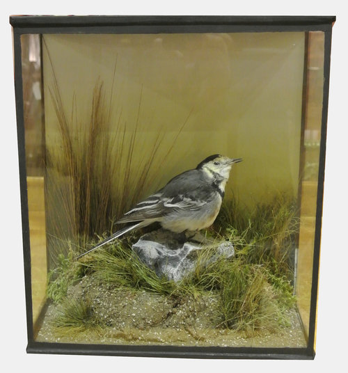 Taxidermy Wagtail