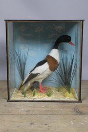 Taxidermy cased duck