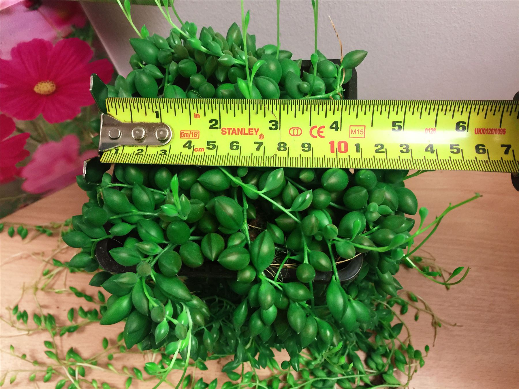 String of Pearls Peas Rosary Beads Vine Succulent Indoor Plant @ Glass PVC Pot