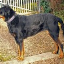 Darcy Johnston-Beauceron