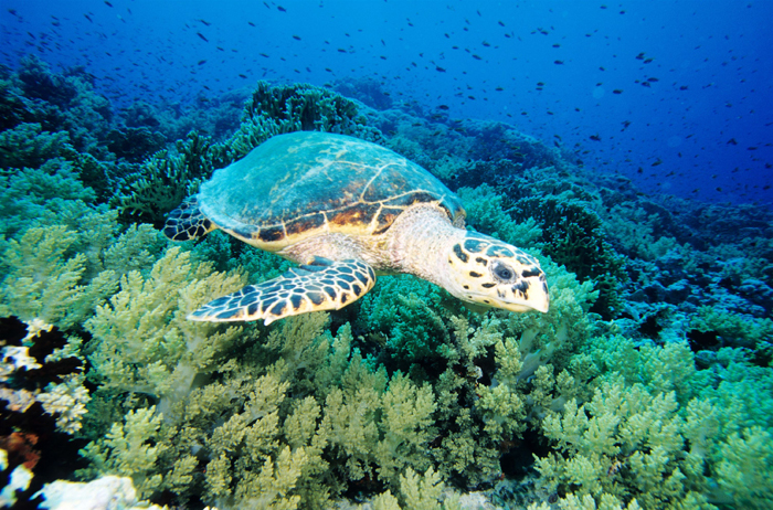 Mer Rouge Tortue