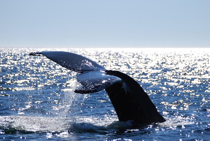 Quebec Baleine