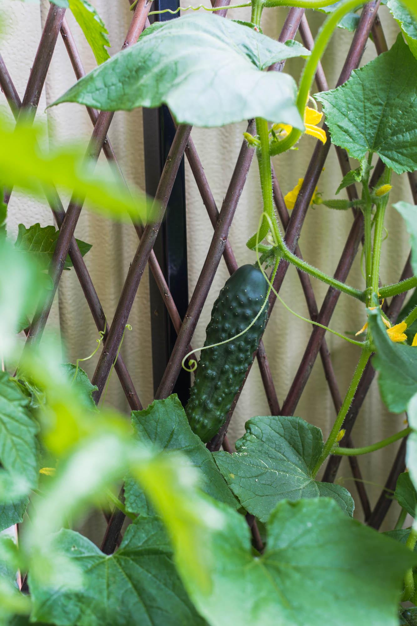 Balkongodling juli – Slanggurka