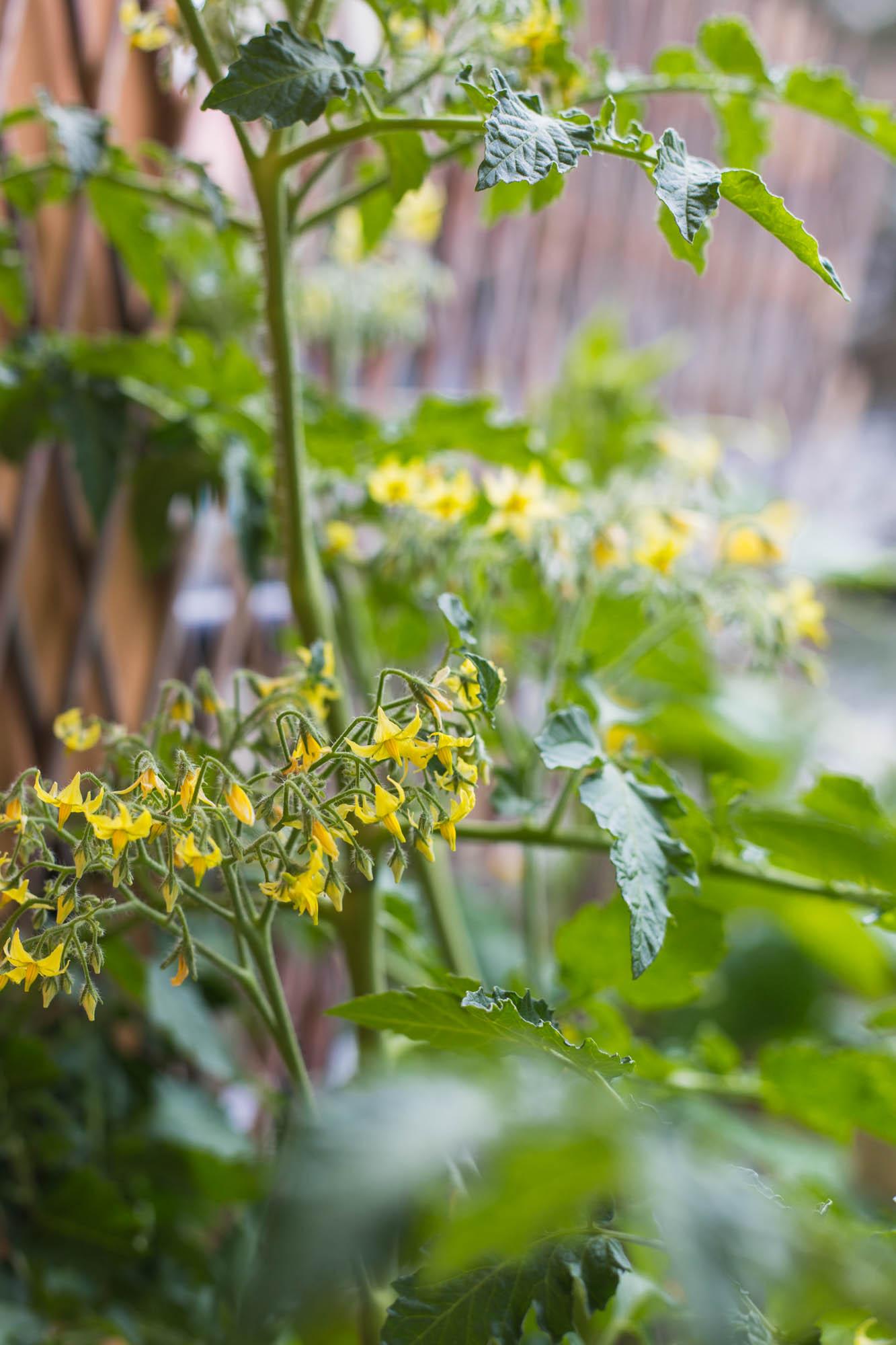 Balkongodling juli – Tomat