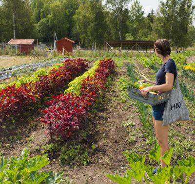 Trädgårn Södertälje ekologiska grönsaker