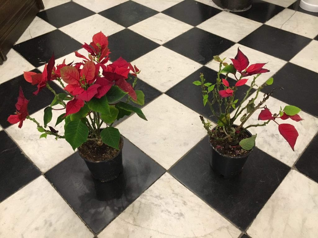 On the left : Poinsettia irrigated with the help of Kanopy25. On the left : Poinsettia irrigated manually by touch and feel.