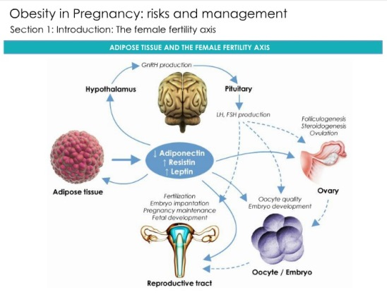 obesity in pregnancy During pregnancy, obesity increases the risk of early and late miscarriage, gestational diabetes, preeclampsia, and complications during labor and delivery.