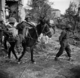 Gurkha wounded being evacuated by mule, Italy, 1944