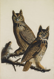 Great horned- Owl