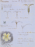 Eight Studies of a Primrose / Botanical Notes and Diagrams