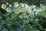 Helleborus (species unknown) in the garden at Greenway