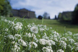 Patch of Wild Garlic (Allium ursinum) on grassy patch at Prior Park, with hazy view of house in distance