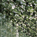 Bunches of ripe grapes hang from vines growing in the glasshouses in the Kitchen Gardens at Clumber Park