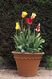 View of a hand-thrown terracotta pot with early varieties of tulips