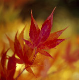 Close-up of Maple (Acer sp.) leaves in red Autumn colour